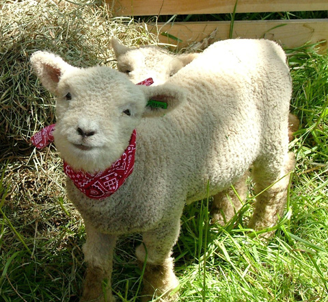 Baby Doll Minature Southdown Sheep